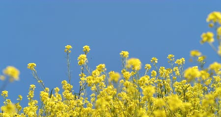 katicabogár : Video shoot of canola field swaying in the wind. Stock mozgókép