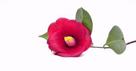 I rotated the camellia and shot a video. SEAMLESS LOOPING. Shot on a white background. Stok Video