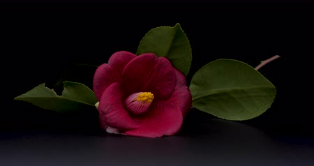 I rotated the camellia and shot a video. SEAMLESS LOOPING. Shot on a Black background.