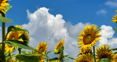 Video Shooting of Summer Sunflower Field. A Beautiful Approaching Cloud Comes out.
