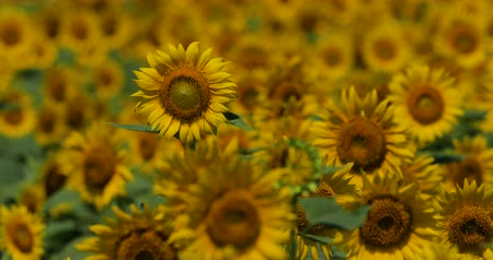 kwiaty polne : Video Shooting of Summer Sunflower Field. A Beautiful Approaching Cloud Comes out.