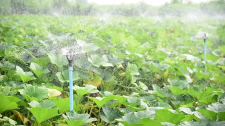 орошение : Sprinkler water system in fresh pumpkin farm