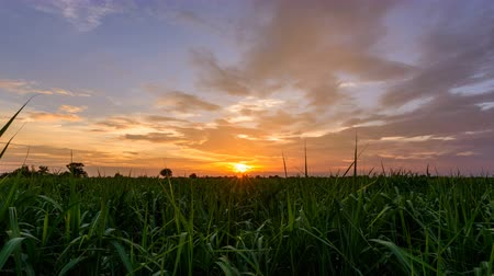 Day to night time lapse of sugarcane field in sunset time