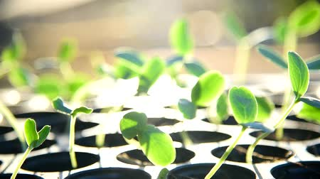 настройка : Tuning blur focus to Sapling on Nursery tray with sunlight
