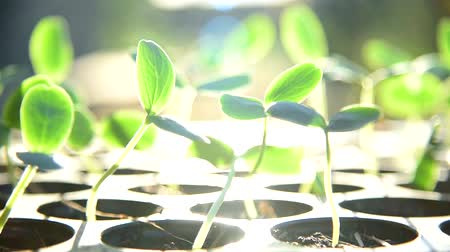 Panning view of Sapling on Nursery tray with sunlight