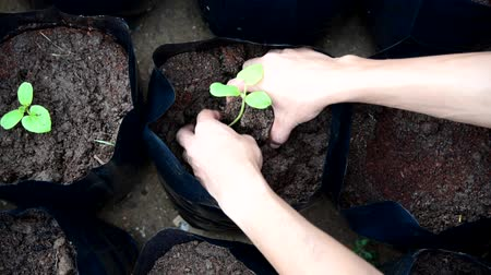 Plant The Sapling in Crop bags Stock Footage