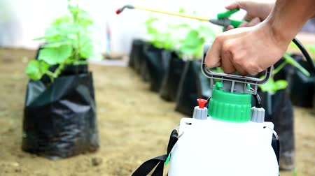 spray the Insecticide to Vegetable in farm Stock Footage