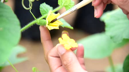 hydroponic : Use paintbrush for Pollinate of Melon flower in green house