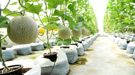 мускусная дыня : Fresh melon in greenhouse