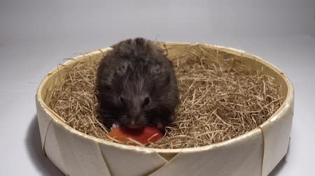 vime : Hamster sitting on hay and eating red apple.