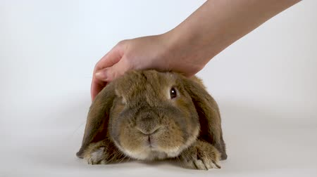 rabbit ears : Furry rabbit is stroked by a hand. White background Stock Footage