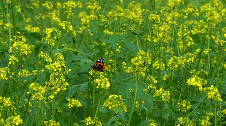 Butterfly flushes mustard flowers.