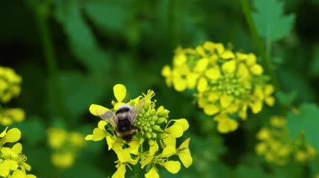 worker bees : Bumblebee gathers nectar from a flower. Pollination. Stock Footage
