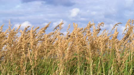 A golden field of ears of wheat against sky. Cloudy sky.