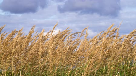 altura : A golden field of ears of wheat against sky. Cloudy sky.