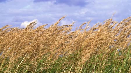 kırılganlık : A golden field of ears of wheat against sky. Cloudy sky.