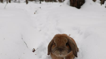 yırtıcı hayvan : A small decorative rabbit of ram breed jumps through snowdrifts. Snow trail. A cute rabbit runs through the winter snow to the camera. Stok Video