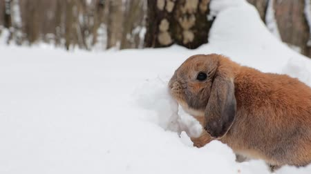 rabbit ears : A small decorative rabbit of ram breed eat snow and digs a hole. A cute rabbit on the winter snow.