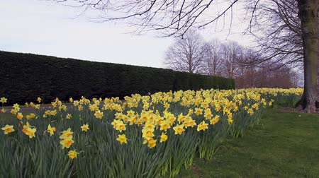 narciso : Golden Daffodils