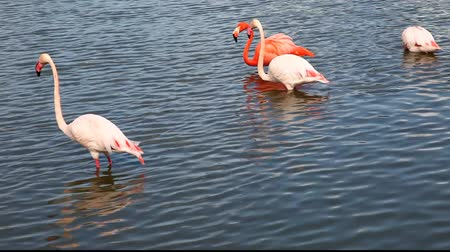 hostility : Flock of flamingos feed in the water