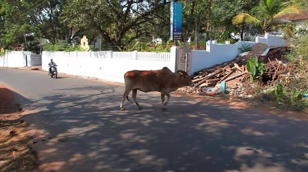 krowa : Holy cow in Indian street