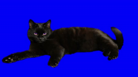 lying cat : Black cat lying and wags its tail irritably. Stock Footage