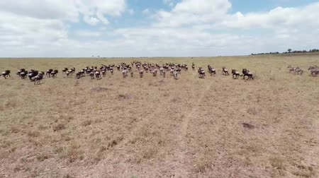 savci : Migration of  Wildebeest. Aerial. Masai Mara National Reserve, Kenya