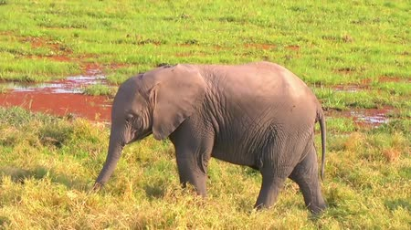 câmara : Baby elephant eating grass.
