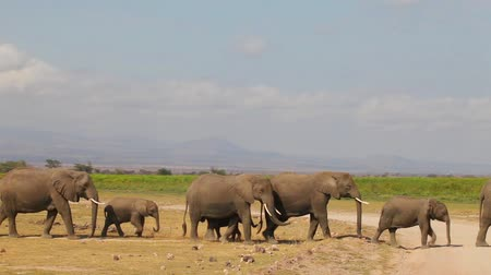 amboseli : Close-up of a large herd of elephants comes to watering. Stock Footage