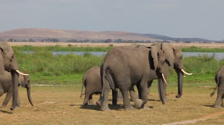саванна : Large herd of African elephants walking on the savannah. Amboseli. Kenya