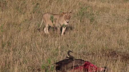 câmara : Lioness approaches killed wildebeest.