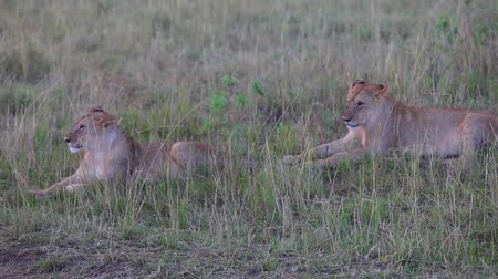 câmara : Two lionesses sitting in the grass. Evening.