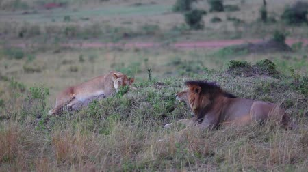 orgazm : Lion and Lioness on a hill. Masai Mara. Evening.      Wideo