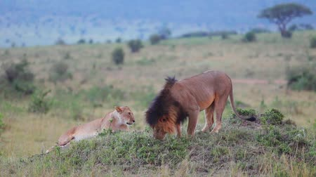 orgazm : Lion sniffing the grass. Checks marked territory.    Wideo