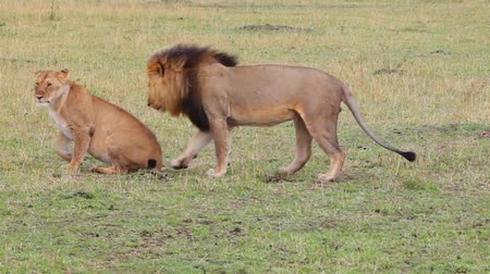 memeli : Lion and lioness mate. Masai Mara National Reserve, Kenya Stok Video