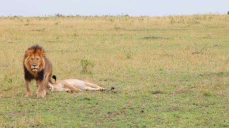 orgazm : Lion and lioness resting in savannah.            Wideo