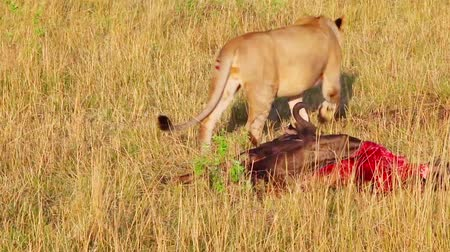 câmara : Lioness wounded while hunting in the left hind leg.