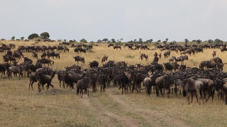 Серенгети : Lots of wildebeest on the field. Wildebeest.