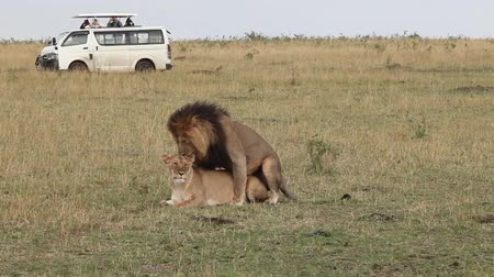 memeli : Masai Mara National Reserve, Kenya. Mating lions. Stok Video