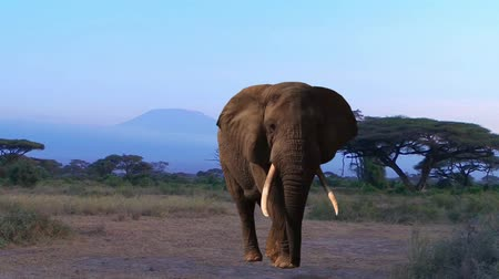 fil : Elephant. Kilimanjaro, Savannah. Evening.