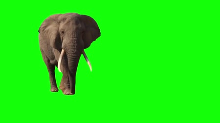 African Elephant, Close Up. Green screen.   Big elephant goes to the watering.