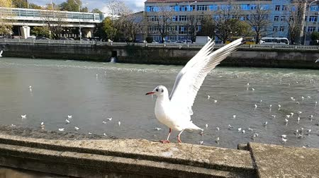 Gulls fly on the river in the city. Stock Footage