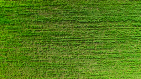 přešel : Flying in the field over the green grass grass. Flying over the green wheat. aerial survey