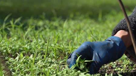 hybrids : Farmer dives tomato seedlings for planting in the ground. Slow motion