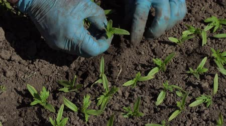 hybrids : Farmer plants tomato seedlings in the ground. Slow motion