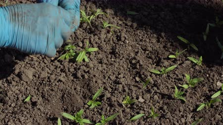 hybrids : Farmer plants tomato seedlings in the ground. Close-up