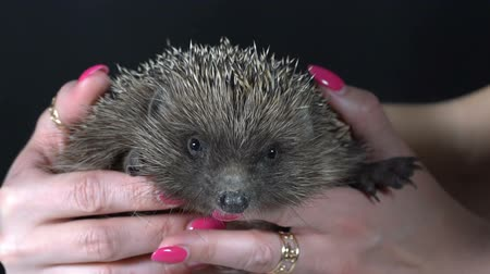 prickly : The girl is holding a hedgehog in her hands. Slow motion Stock Footage
