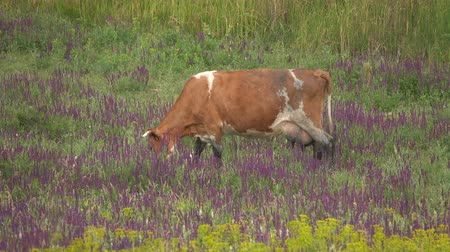 drove : Cows graze in a meadow Stock Footage
