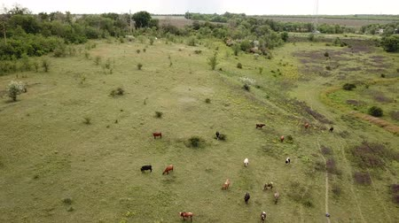 üreten : Cows graze in a meadow. Aerial Stok Video