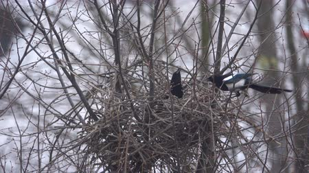 egg laying : Bird magpie builds a nest Stock Footage